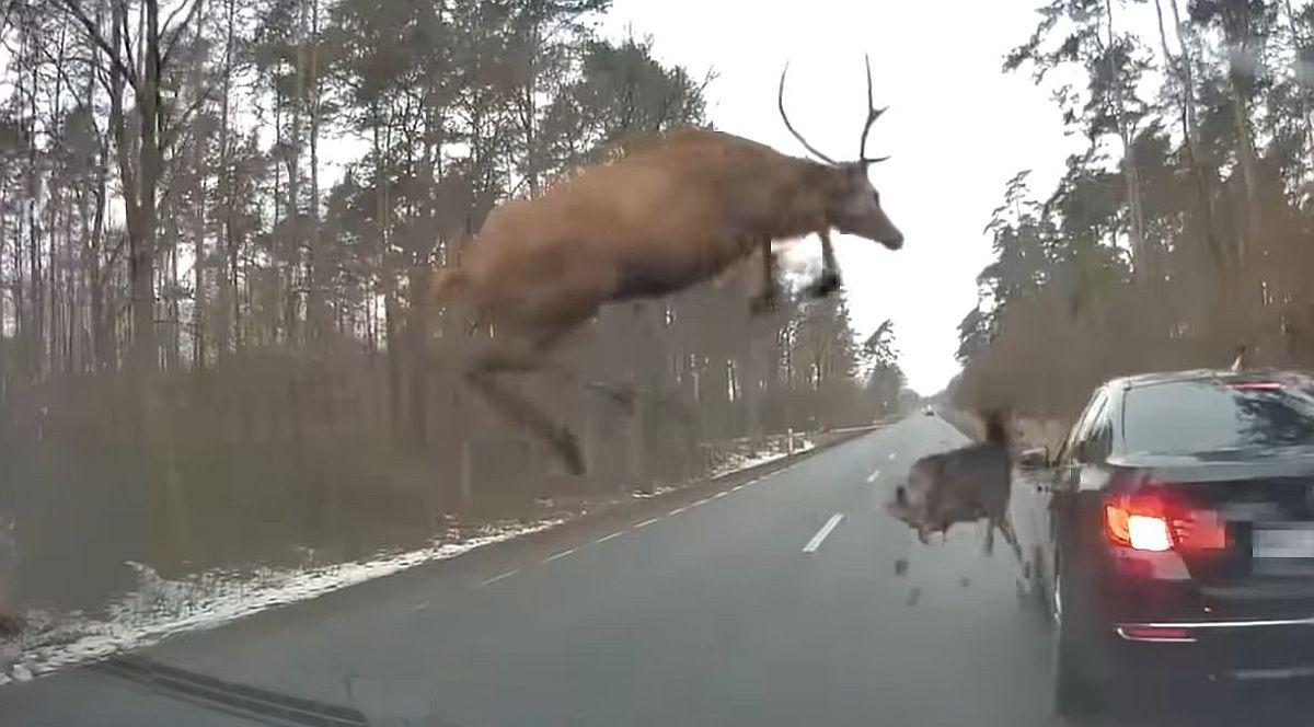 ŠOKANTNO: Krdo jelena doslovno zaskočilo nesretni BMW